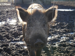 One of the Iron Age piglets in the picture above has grown into this fine young lady