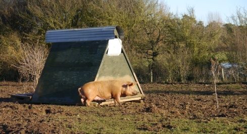 Our pig arks provide a rather convenient scratching post for those hard to reach places!