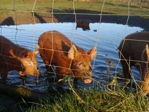 Water pigs