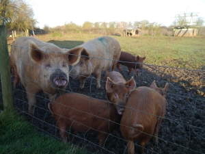 Cold winter morning pigs