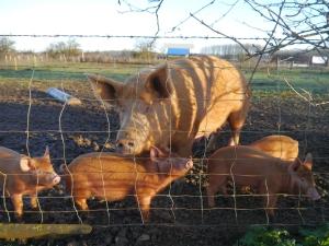 Big mama pig with babies