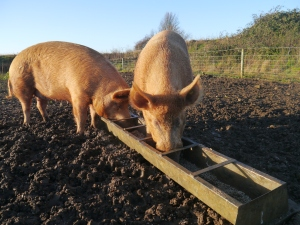 Happy pigs feasting on breakfast!
