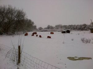 Pigs in the snow!